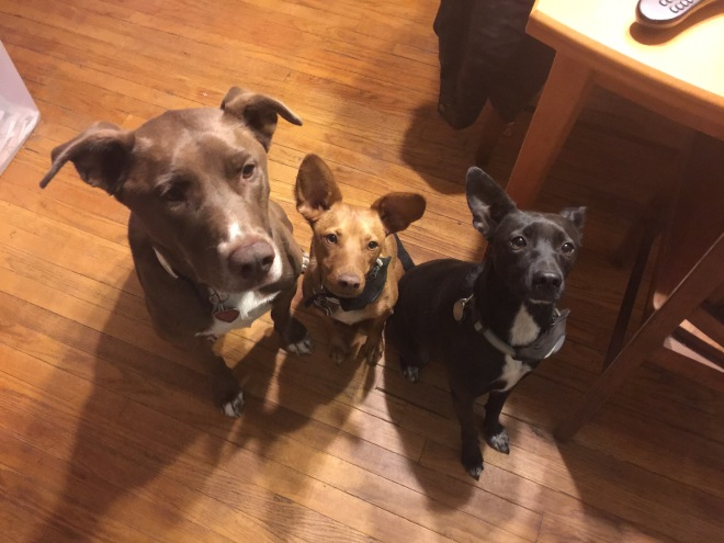 Large brown dog, small tan dog, and small black dog staring intently into the camera.