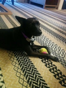 Small black dog with yellow and pink tennis ball laying on patterned rug.