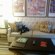 Small black dog with white chest and pointed ears sitting with crossed front paws on a nice hotel room sofa.