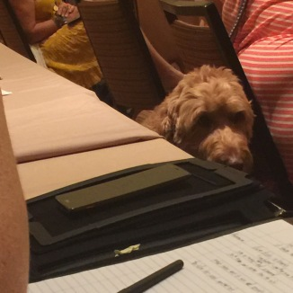 A goldendoodle peers over a table during a seminar.