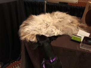 Small black dog investigates fake fur throw rug